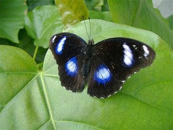 La bella mariposa Blue Moon no se extinguió porque evolucionó haciéndose resistente a la Wolbachia