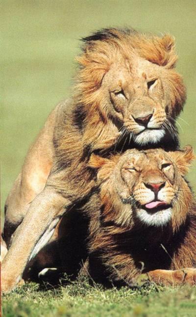 La homosexualidad es muy común en los mamíferos