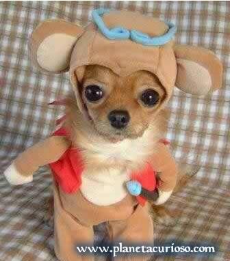 mioplanet perro disfrazado hermoso bebe chiguagua