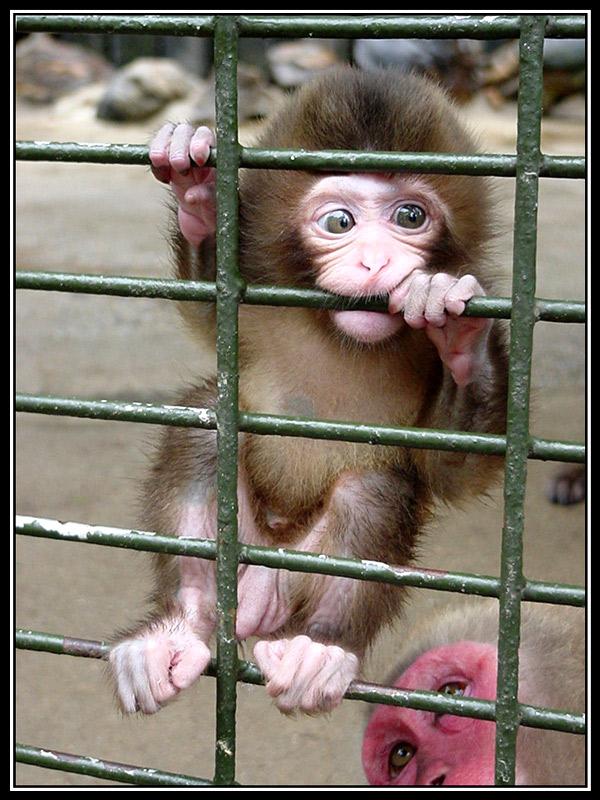 Nos parecemos más a un feto de mono que a un mono