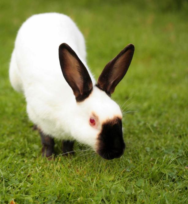 El conejo Himalaya nace negro si hace frío y blanco si hace calor