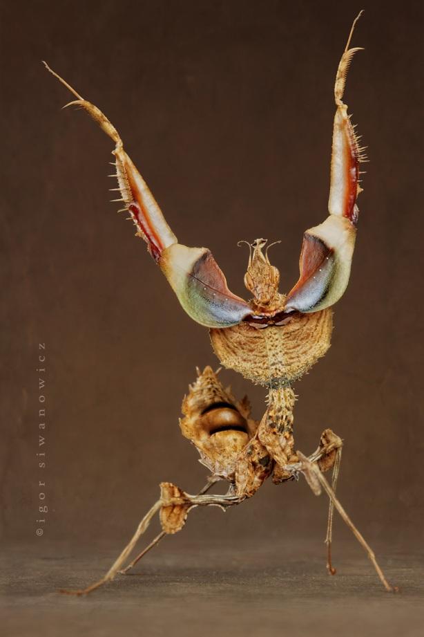 La feroz mantis abre sus garras antes de atacar