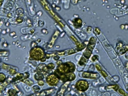 Algas-Micro-400x-500x375
